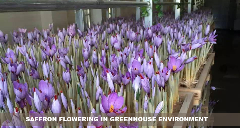 Saffron flowering in greenhouse environment