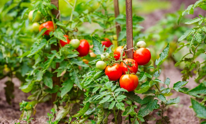 How to Grow Tomatoes, Peppers, and Eggplant