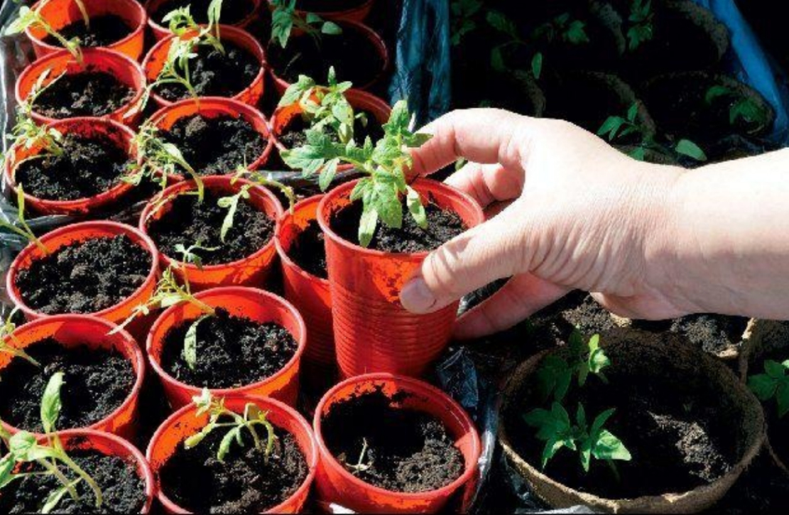seedlings-in-the-plastic-party-cups