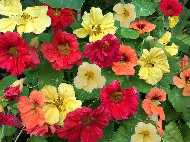 Growing and planting Nasturtium flowers