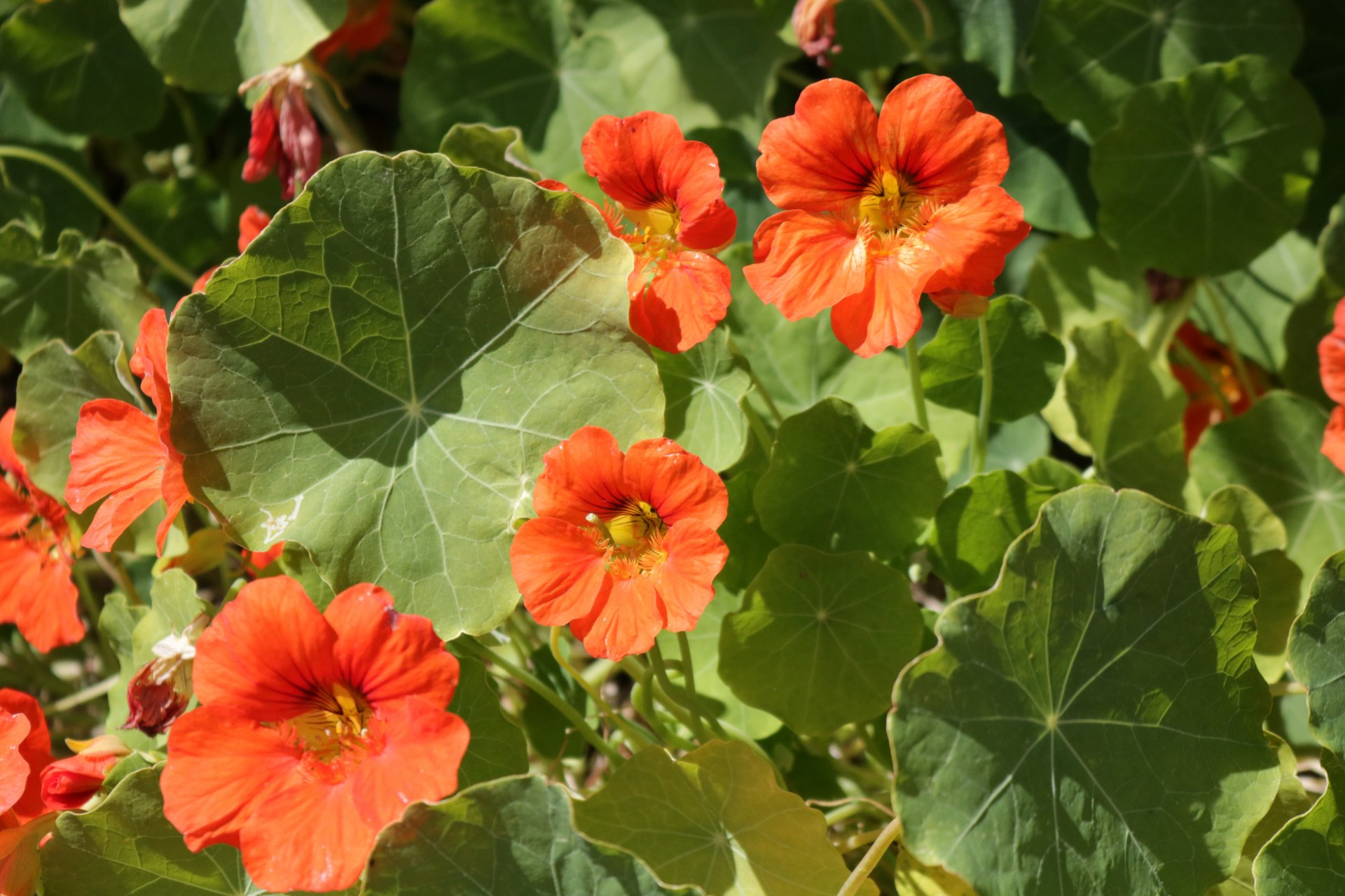 How to maintain and care for Nasturtium flowers